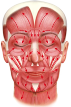 facemuscle.png